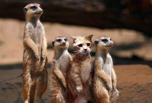 impostor-cat